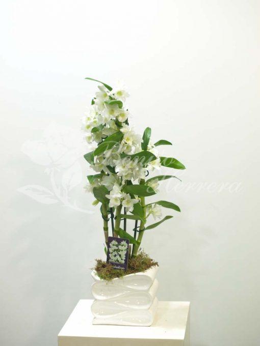 Dendrobium con macetero cerámica 2