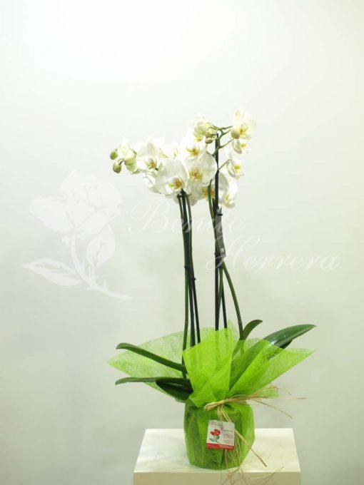 Phalaenopsis blanca 3