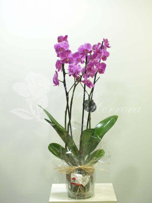 Phalaenopsis color con cristal corazón 3