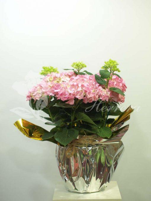 Hortensia rosa 3