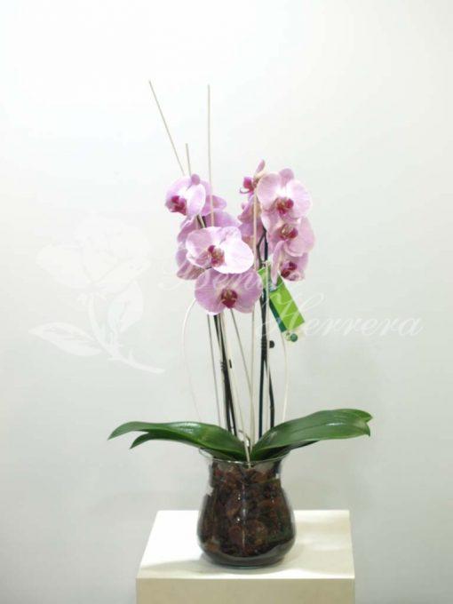 Phalaenopsis de color en cristal 3