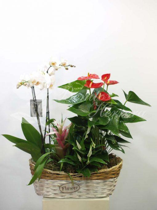 Cesta plantas variadas con orquídea. 3