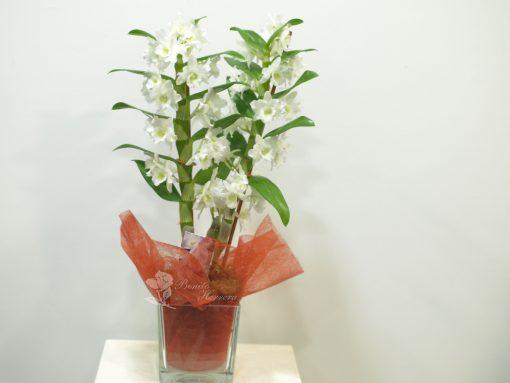Dendrobium con cristal 3