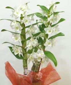 Dendrobium con cristal 5