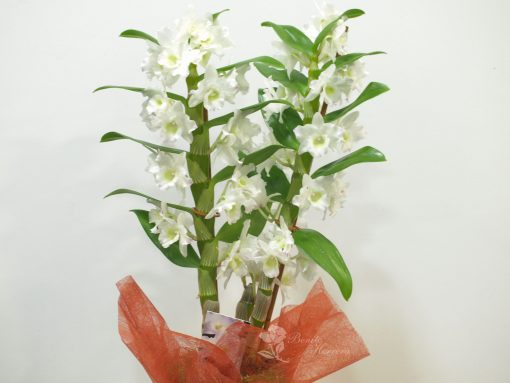 Dendrobium con cristal 4