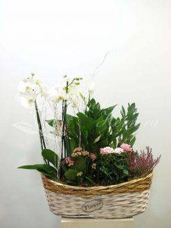 Cesta con phalaenopsis