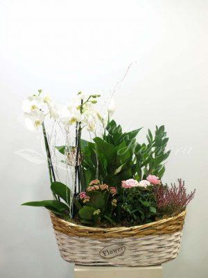 Cesta con phalaenopsis 1