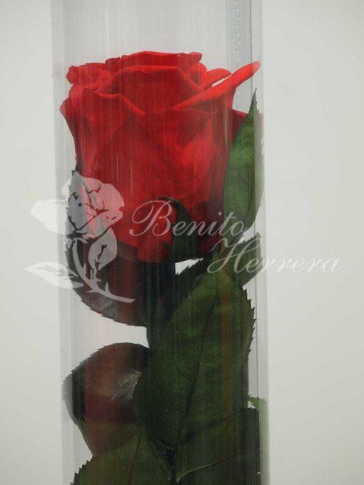 Rosa roja preservada 1