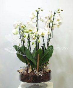 Copa de cristal con Phalaenopsis 6