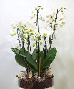 Copa de cristal con Phalaenopsis 7