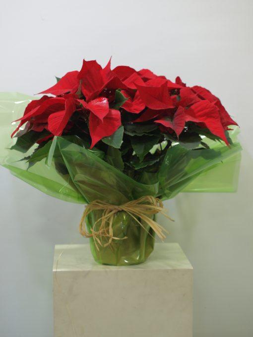 Planta de Navidad 4