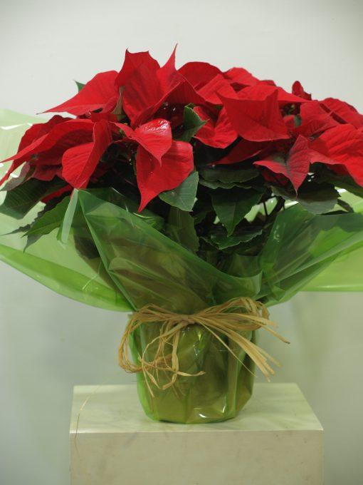 Planta de Navidad 5