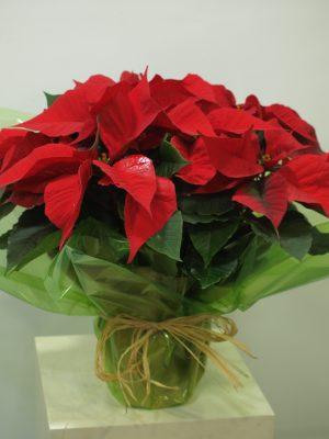 Planta de Navidad 8