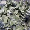Eucalyptus cinerea 1