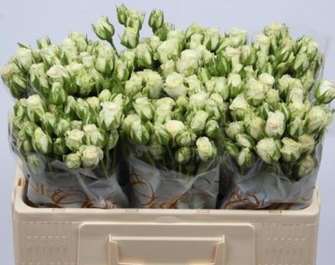Rosas mini ramificadas paquete. 3