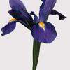 Iris azul 10 tallos 1