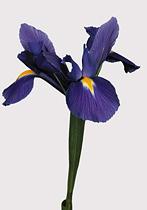 Iris 10 tallos 3