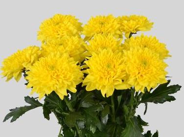 Crisantemo uniflora grande. 3