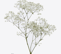 Paniculata paquete. 3