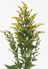 Solidago amarillo. 4